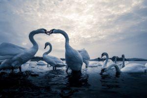 animals, Birds, Swan