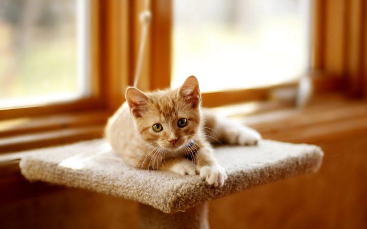 animals, Cat, Depth of field HD Wallpaper Desktop Background