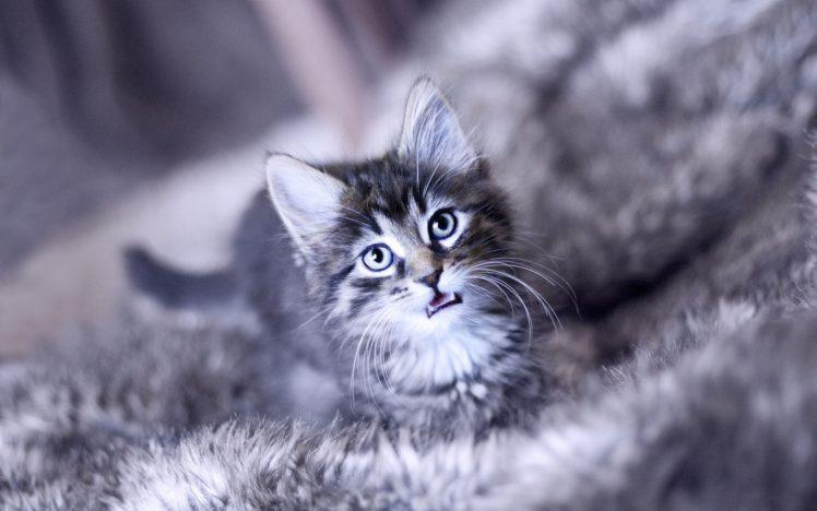 animals, Cat HD Wallpaper Desktop Background