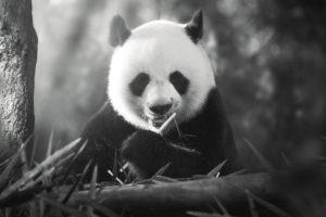 animals, Panda