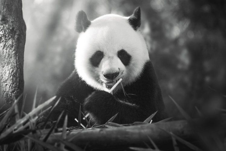 animals, Panda HD Wallpaper Desktop Background