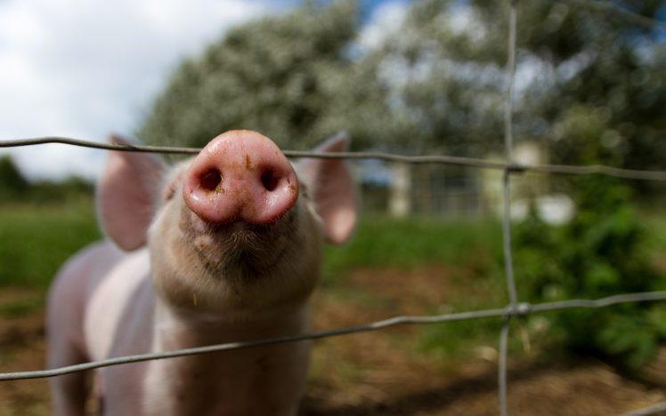 animals, Pigs HD Wallpaper Desktop Background