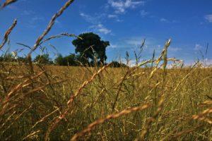 landscape, Oak