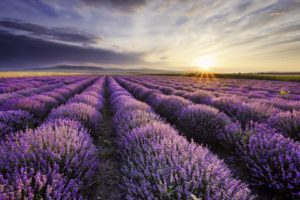 nature, Purple, Lavender