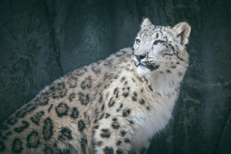 Big Cats Animals Snow Leopards Hd Wallpapers Desktop And