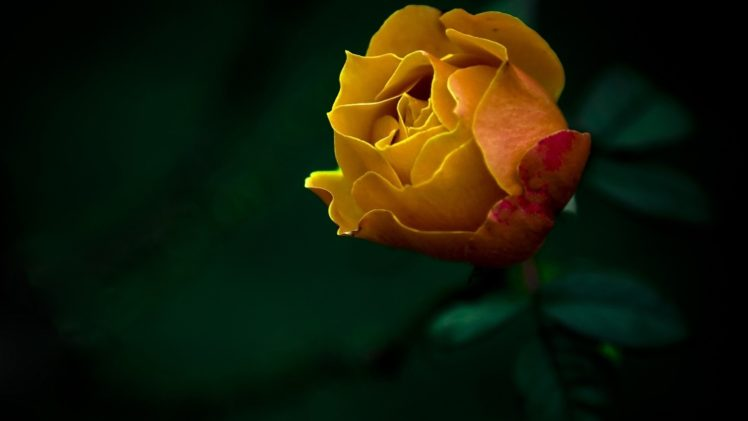 Yellow Flowers Hd Wallpapers Desktop And Mobile Images Photos