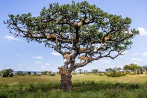 nature, Landscape, Trees, Animals, Wildlife, Big cats, Branch, Savannah
