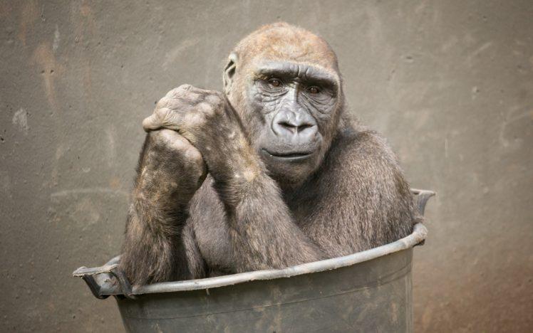 apes, Animals HD Wallpaper Desktop Background