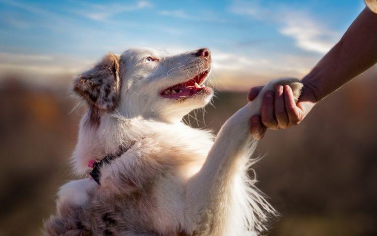 dog, Animals, Australian Shepherd HD Wallpaper Desktop Background