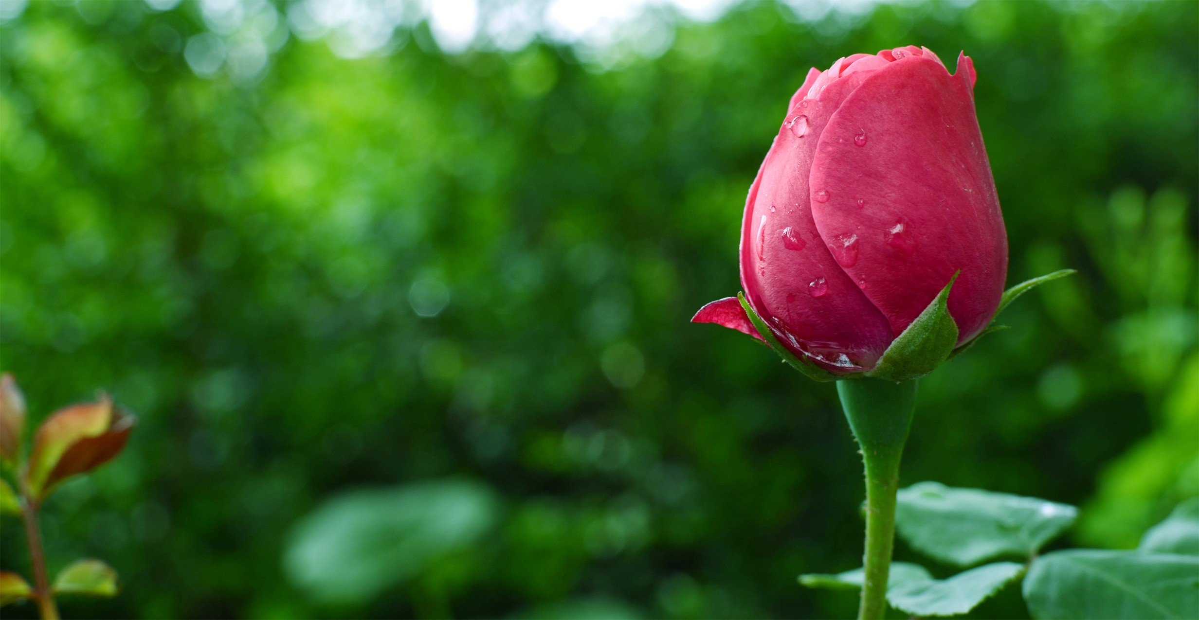 Rose plants garden water drops hd wallpapers desktop - Rose with water drops wallpaper ...