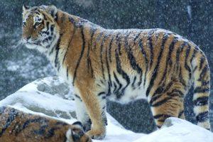 Bengal tigers, Snow, Wildlife, Mountains