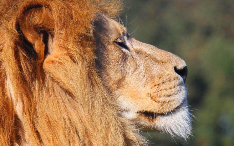 lion, Big cats, Animals HD Wallpaper Desktop Background