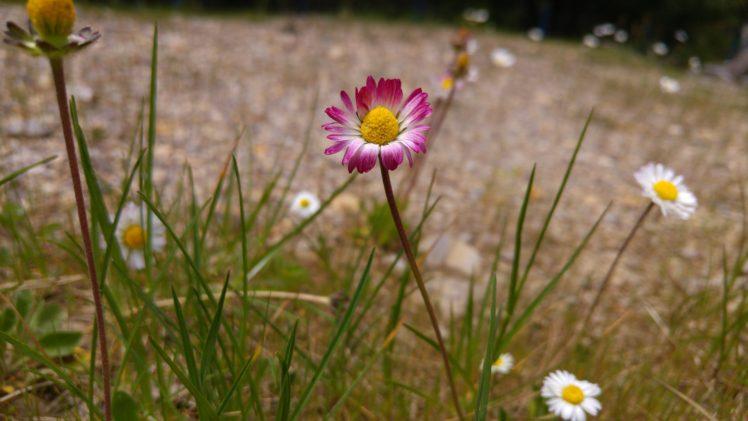 plants, Daisies, Landscape, Red flowers HD Wallpaper Desktop Background