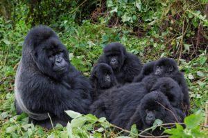 families, Apes, Gorillas, Animals