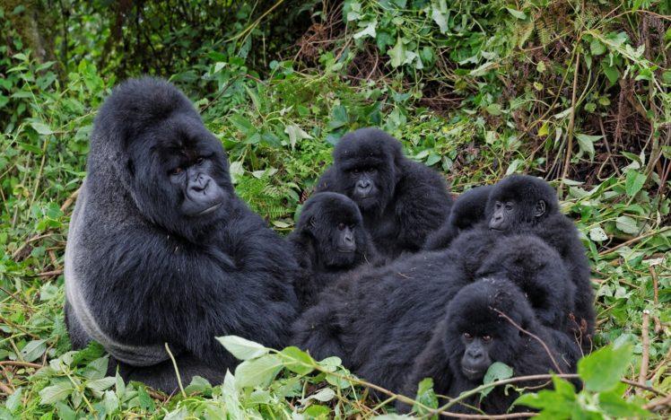 families, Apes, Gorillas, Animals HD Wallpaper Desktop Background