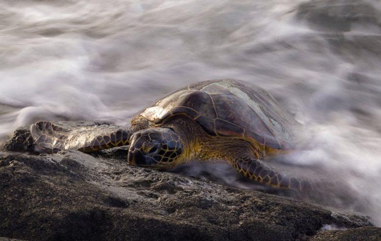 animals, Turtle, Reptiles, Long exposure, Water HD Wallpaper Desktop Background