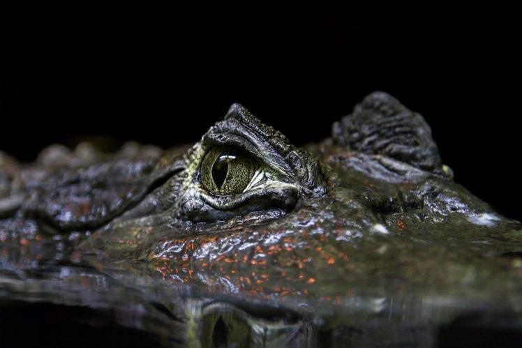animals, Reptiles HD Wallpaper Desktop Background