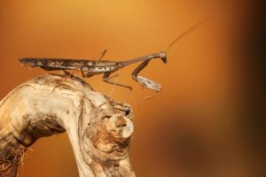 animals, Insect, Mantis, Macro