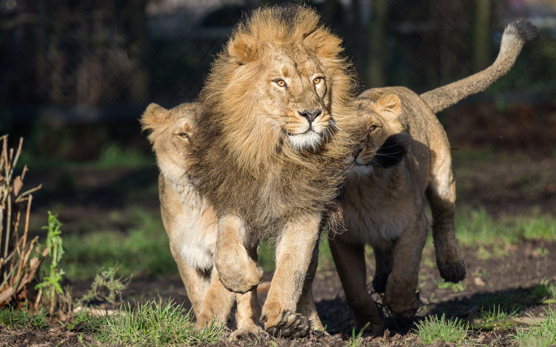 Animals Lion Wallpapers Hd Desktop And Mobile Backgrounds: Big Cats, Lion, Animals HD Wallpapers / Desktop And Mobile
