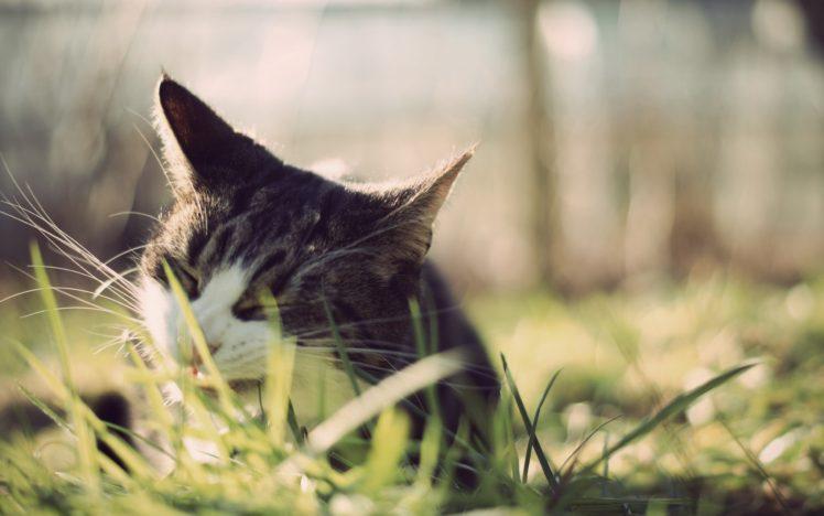 animals, Cat, Grass HD Wallpaper Desktop Background