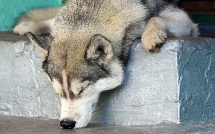 animals, Dog HD Wallpaper Desktop Background