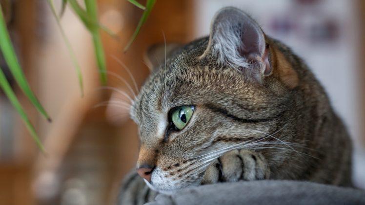 cat, Animals HD Wallpaper Desktop Background
