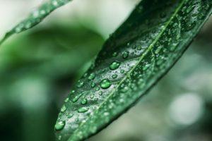 tea plant, Plants, Leaves
