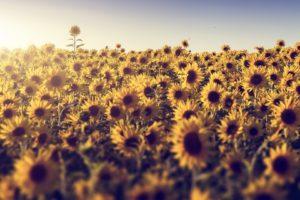 field, Flowers, Sunlight, Sunflowers