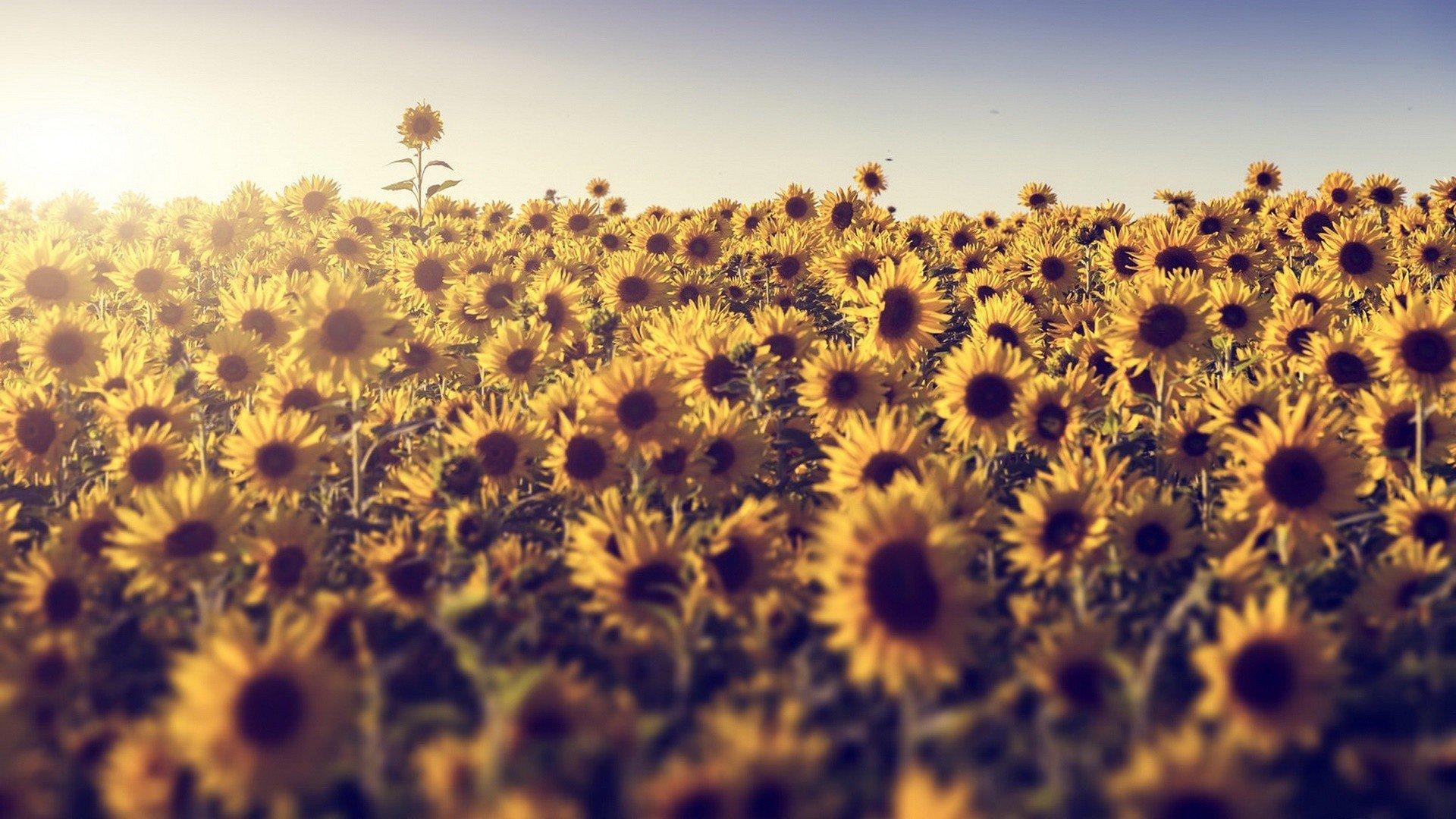 468436 field flowers sunlight sunflowers