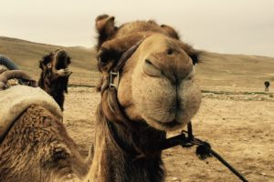 camels, Israel, Desert