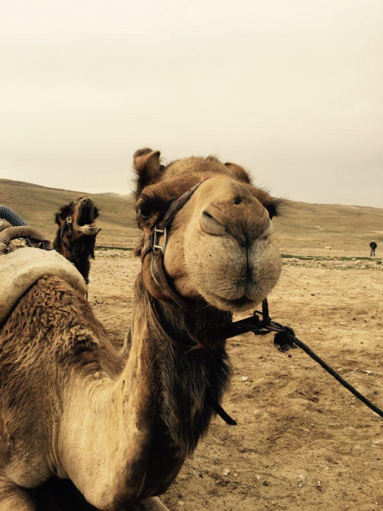 Camels Israel Desert Hd Wallpapers Desktop And Mobile