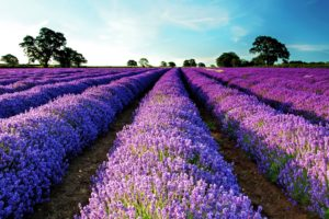lavender, Field, Purple flowers, Flowers, Landscape, Garden, Purple