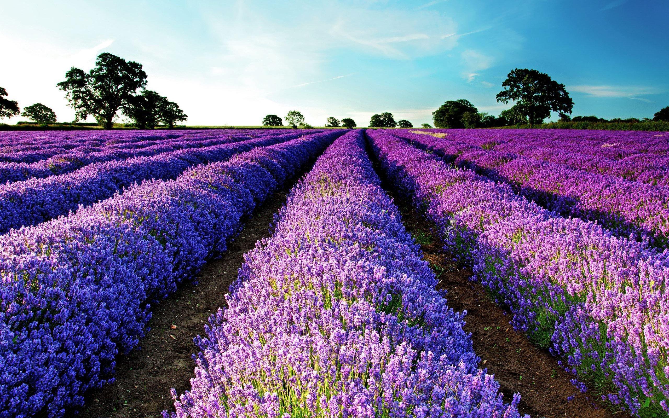 Lavender Field Purple Flowers Flowers Landscape