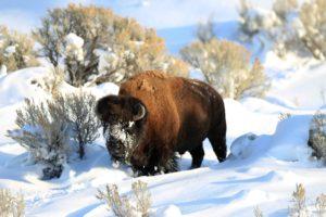 bison, Snow, Animals, Nature