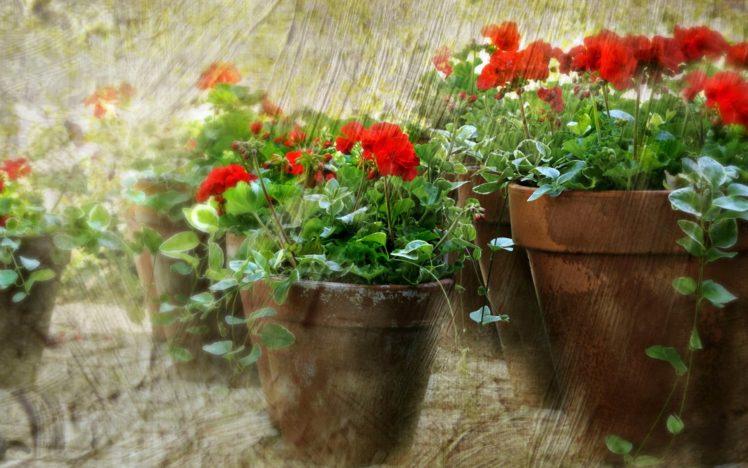 flowers, Red flowers, Plants HD Wallpaper Desktop Background