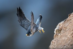 photography, Animals, Birds, Bird of prey, Wildlife