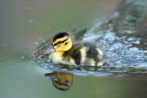 nature, Animals, Birds, Baby animals, Duck, Water, Reflection, Depth of field