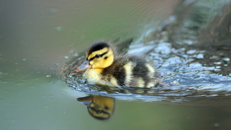 nature, Animals, Birds, Baby animals, Duck, Water, Reflection, Depth of field HD Wallpaper Desktop Background