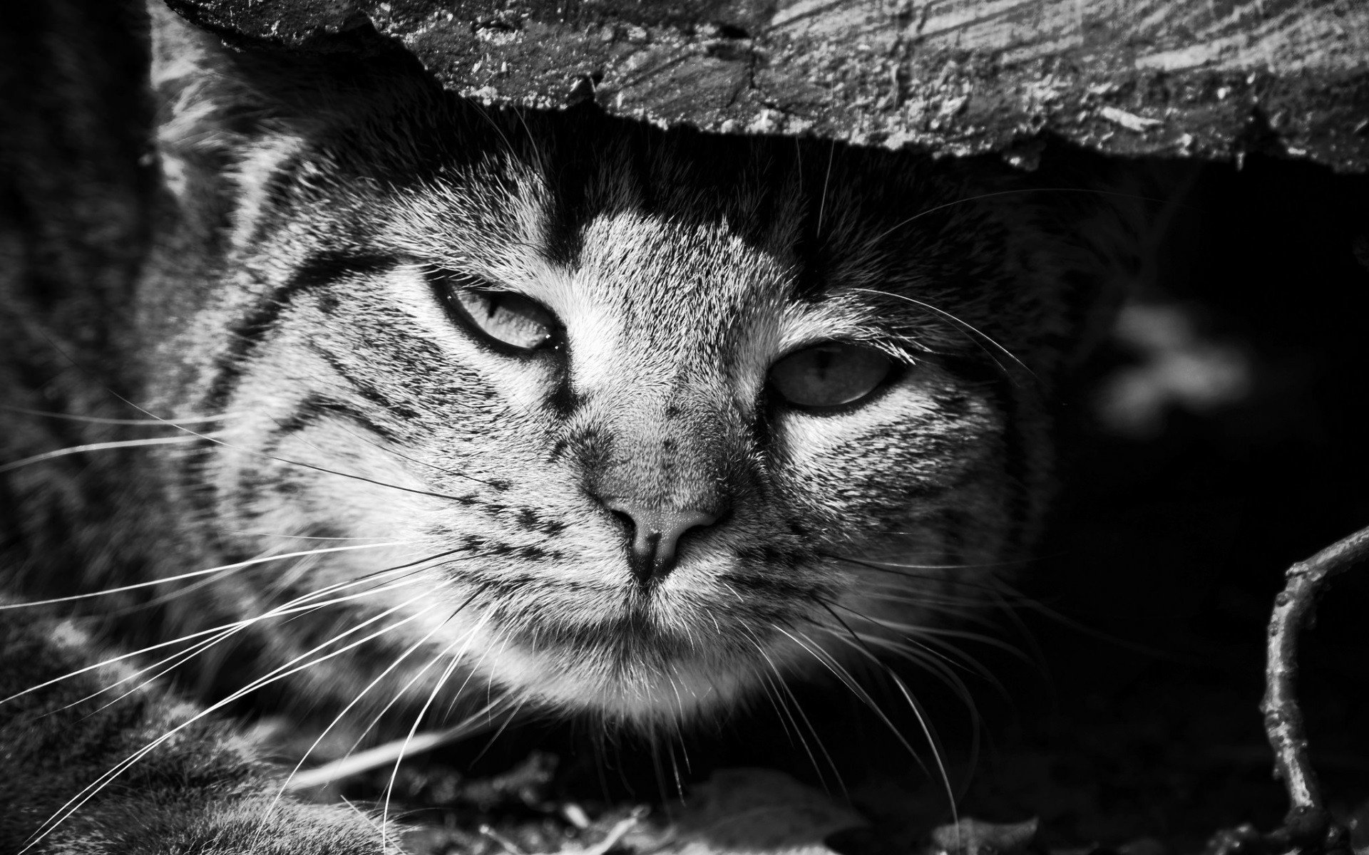 Animals 68 Hd Wallpapers Hd Wallpapers: Monochrome, Cat, Animals HD Wallpapers / Desktop And