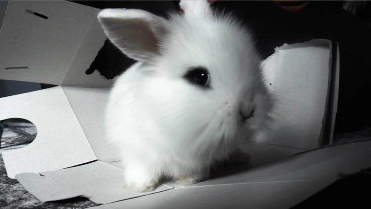 rabbits, Animals HD Wallpaper Desktop Background