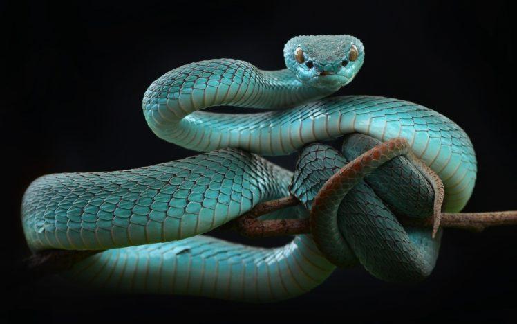 snake, Animals, Reptiles HD Wallpaper Desktop Background