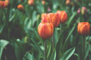 flowers, Depth of field, Plants, Tulips