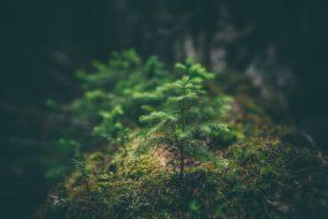 moss, Depth of field, Plants, Spruce, Fir