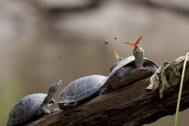 turtle, Butterfly HD Wallpaper Desktop Background