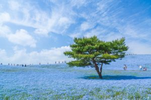 blue, Japan, Sky, Trees, Blue flowers