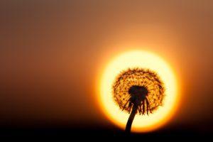 dandelion, Sun, Halo