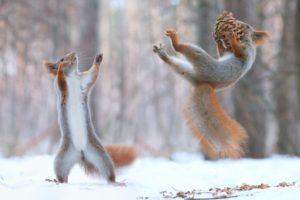 squirrel, Pine cones, Snow