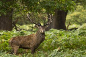 deer, Landscape