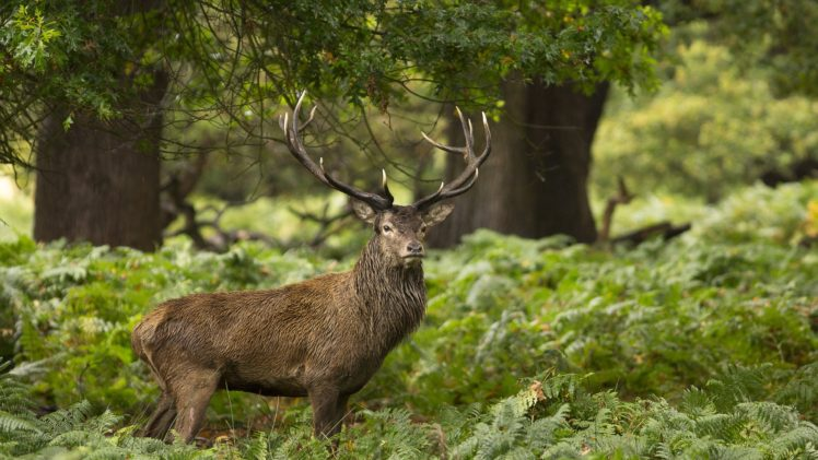 deer, Landscape HD Wallpaper Desktop Background