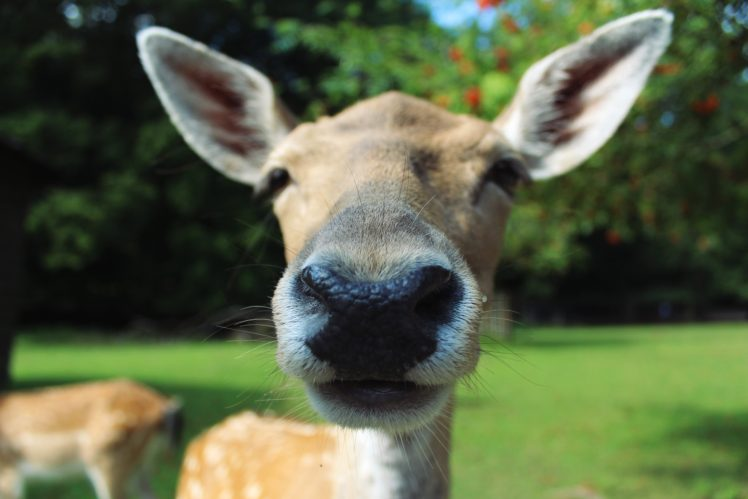 deer, Animals, Nature, Trees, Closeup HD Wallpaper Desktop Background